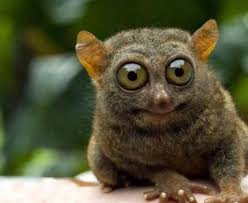 The Tarsier is a small species of primate that is found inhabiting the well-vegetated forests on a number of islands in southeast Asia.